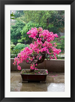 Framed Spring Blossoms cover Bonsai, The Chi Lin Buddhist Nunnery, Hong Kong, China Print
