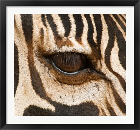 Framed Tanzania, Tarangire National Park, Common zebra eye Print