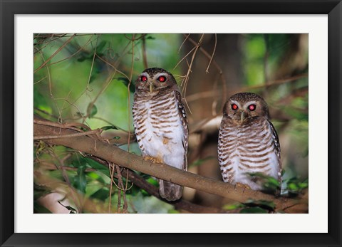 Framed White Browed Owls, Madagascar Print