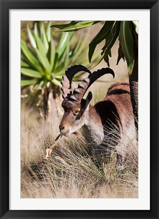 Framed Close Up of Walia Ibex, Ethiopia Print