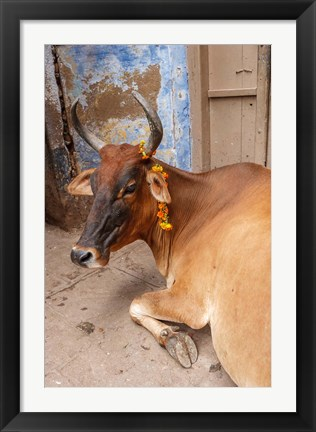 Framed Cow withFflowers, Varanasi, India Print