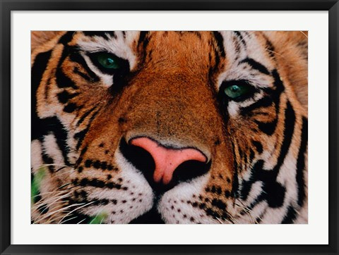 Framed Face of Bengal Tiger, India Print