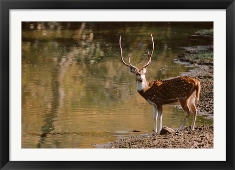 Framed Chital at Water's Edge in Bandhavgarh National Park, India Print