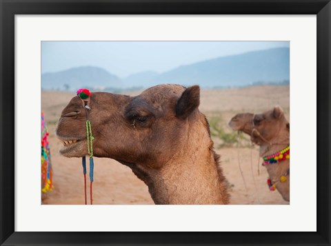 Framed Close-up of a camel, Pushkar, Rajasthan, India. Print