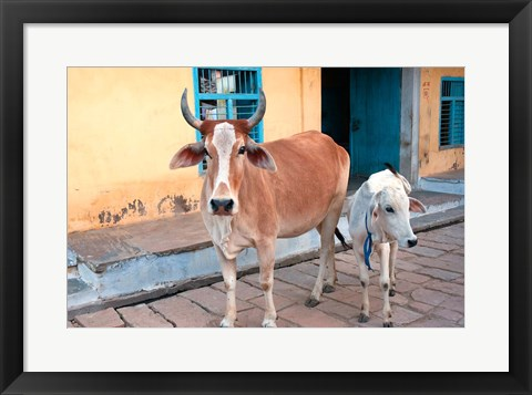 Framed Cow and calf on the street, Jojawar, Rajasthan, India. Print