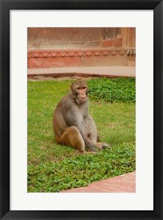Framed Monkey, Uttar Pradesh, India Print