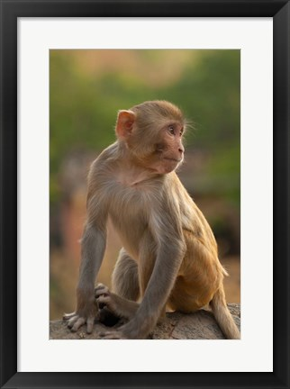 Framed Young Rhesus monkey, Monkey Temple, Jaipur, Rajasthan, India Print