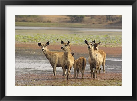 Framed Alert Sanbar deers, Ranthambhor National Park, India Print