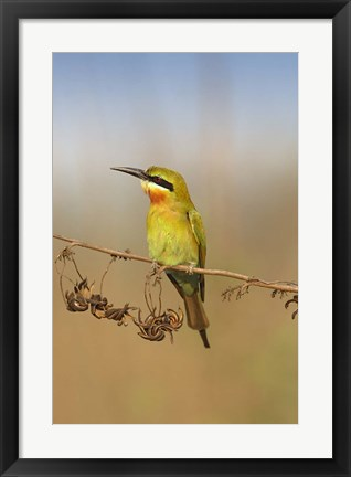 Framed Bluetailed Bee eater, Corbett NP, Uttaranchal, India Print