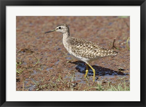 Framed Green Sandpiper, Ranthambhor National Park, India. Print