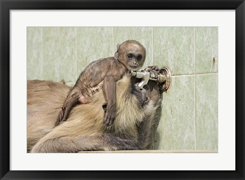 Framed Hanuman Langoor and young, Ranthambhor National Park, India Print