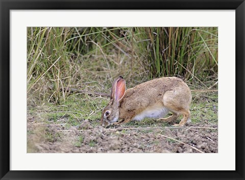 Framed Indian Hare wildlife, Ranthambhor NP, India Print