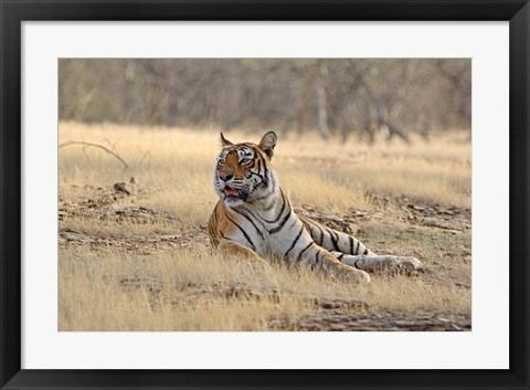 Framed Royal Bengal Tiger resting, India Print