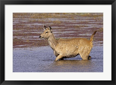 Framed Sambar wildlife, lake, Ranthambhor NP, India Print
