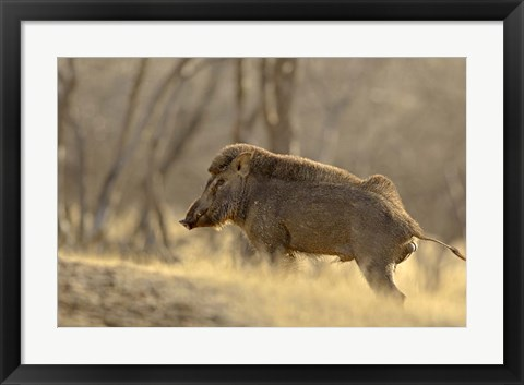 Framed Wild Boar, Ranthambhor National Park, India Print