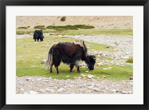 Framed India, Jammu and Kashmir, Ladakh, yaks eating grass on a dry creek bed Print