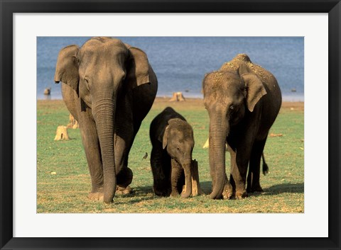 Framed Asian Elephant Family, Nagarhole National Park, India Print