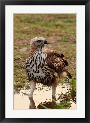 Framed Changeable Hawk Eagle, Corbett National Park, India Print