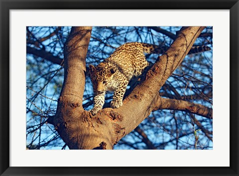 Framed Leopard wildlife, Ranthambhor National Park, India Print