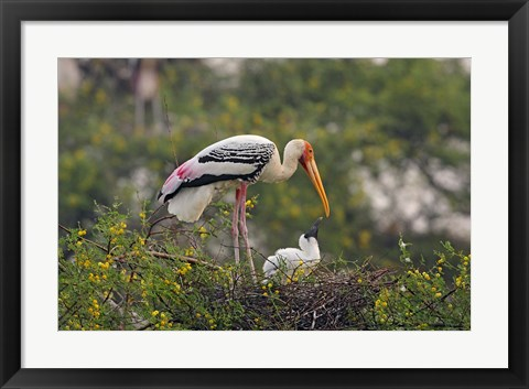 Framed Painted Stork birds, Keoladeo National Park, India Print