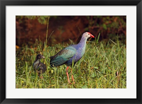 Framed Purple Moorhen and young birds, Keoladeo NP, India Print