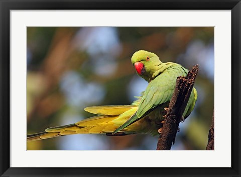Framed Roseringed Parakeet tropical bird, Keoladeo NP, India Print