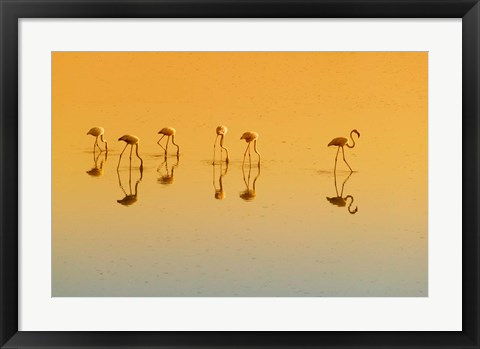 Framed Lesser Flamingos on the Lake, Udaipur, Rajasthan, India Print