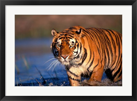 Framed Bengal Tiger, India Print