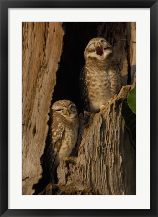 Framed Pair of Spotted Owls, Bharatpur NP, Rajasthan. INDIA Print