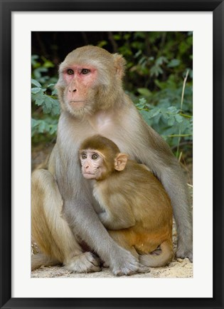 Framed Rhesus Macaque monkey with baby, Bharatpur National Park, Rajasthan INDIA Print