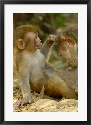 Framed Rhesus Macaque, Bharatpur National Park, Rajasthan INDIA Print