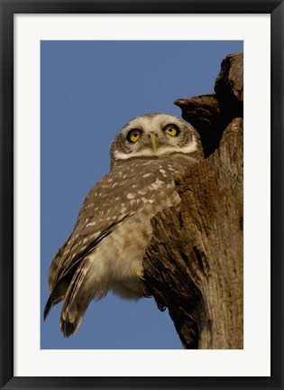 Framed Spotted Owlet bird, Bharatpur NP, Rajasthan. INDIA Print
