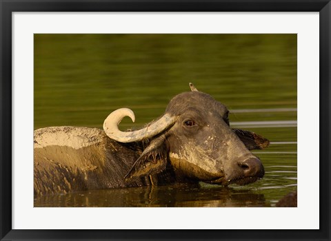 Framed Water buffalo, Wildlife, Bharatpur village, INDIA Print