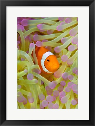 Framed Anemonefish in protective anemone, Raja Ampat, Papua, Indonesia Print