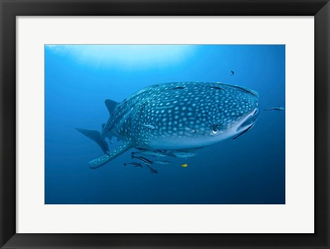 Framed Bay Whale shark and remoras Print