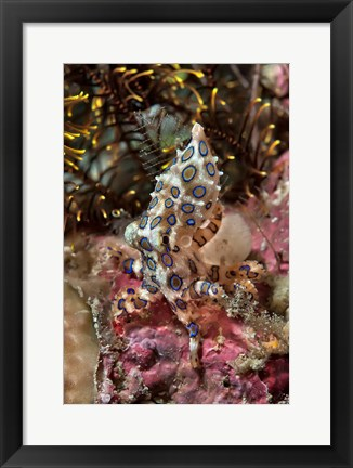 Framed Blue-ring octopus and coral, Raja Ampat, Papua, Indonesia Print