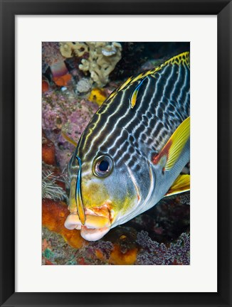 Framed Cleaner fish with sweetlip fish, Raja Ampat, Papua, Indonesia Print