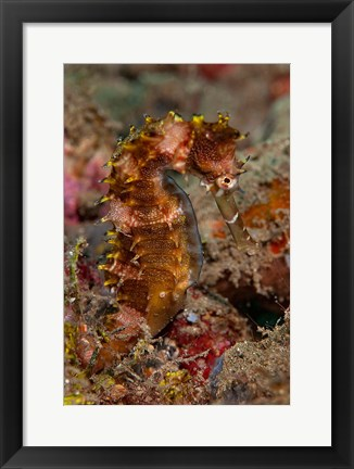 Framed Close-up of adult spiny seahorse Print