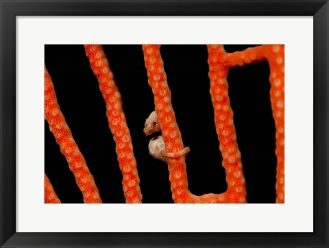 Framed Close-up of world's smallest seahorse, Raja Ampat, Papua, Indonesia Print