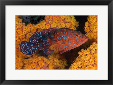 Framed Coral trout fish and coral, Raja Ampat, Papua, Indonesia Print