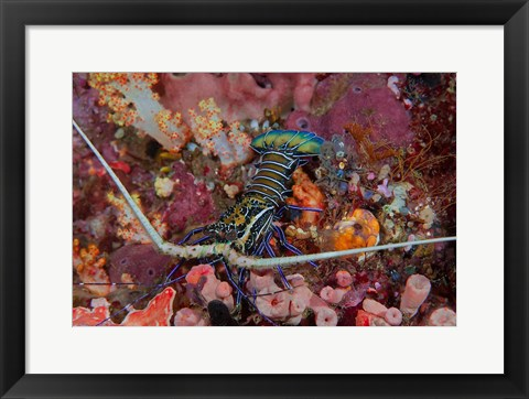 Framed Lobster and coral, Raja Ampat, Papua, Indonesia Print