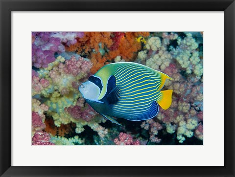 Framed Underwater scene of angelfish and coral, Raja Ampat, Papua, Indonesia Print