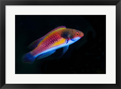 Framed Bay Close-up of colorful wrasse fish Print