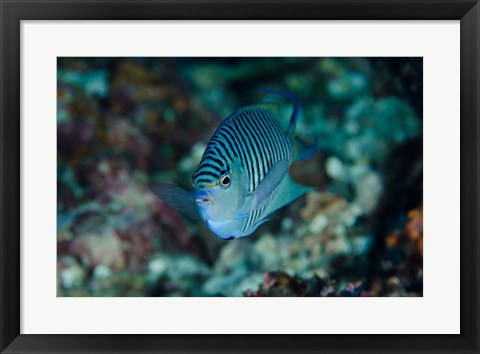 Framed Bay Close-up of angelfish Print