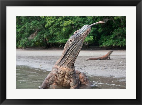 Framed Komodo dragon in water, Komodo National Park, Rinca Island, Indonesia Print