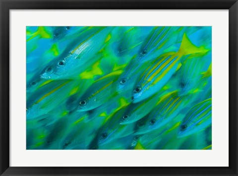 Framed Abstract close-up of snapper fish, Raja Ampat, Papua, Indonesia Print