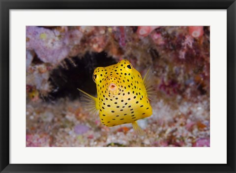 Framed Box fish swims amid coral Print