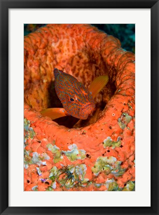 Framed Coral trout fish Print
