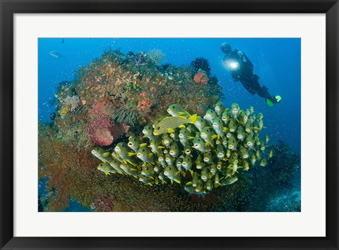 Framed Diver and schooling sweetlip fish next to reef, Raja Ampat, Papua, Indonesia Print