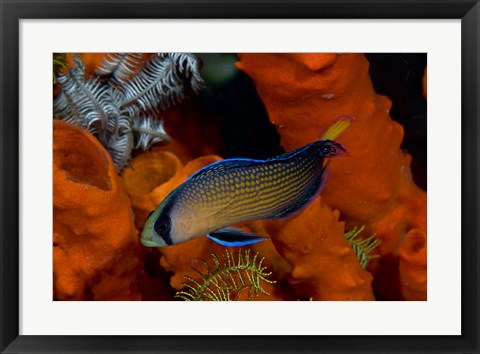 Framed Dottyback, corals, marine life Print